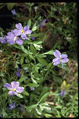 APII jpeg image of Dampiera linearis  © contact APII