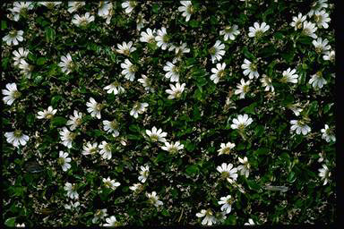 APII jpeg image of Scaevola hookeri  © contact APII