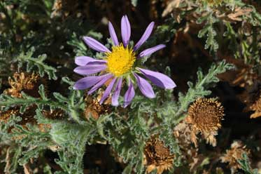 APII jpeg image of Erodiophyllum elderi  © contact APII