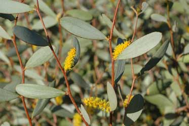 APII jpeg image of Acacia tarculensis  © contact APII