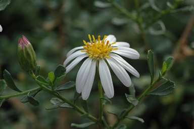 APII jpeg image of Olearia magniflora  © contact APII