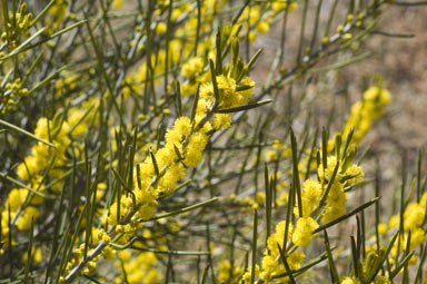 APII jpeg image of Acacia eremophila  © contact APII