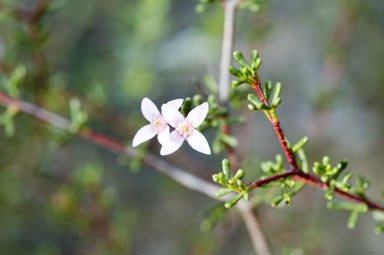APII jpeg image of Boronia inornata subsp. leptophylla  © contact APII