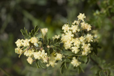 APII jpeg image of Acacia nigricans  © contact APII