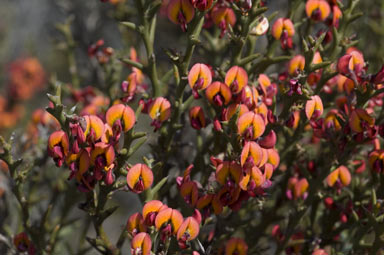 APII jpeg image of Daviesia incrassata subsp. incrassata  © contact APII