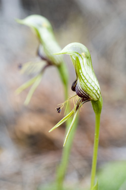 APII jpeg image of Pterostylis barbata  © contact APII