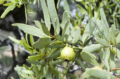 APII jpeg image of Santalum spicatum  © contact APII