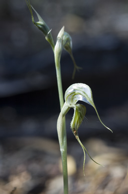 APII jpeg image of Pterostylis  © contact APII