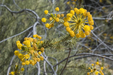 APII jpeg image of Acacia rossei  © contact APII