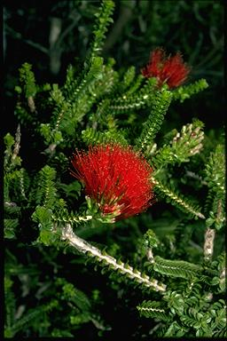 APII jpeg image of Beaufortia squarrosa  © contact APII