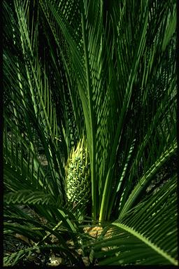 APII jpeg image of Macrozamia riedlei  © contact APII