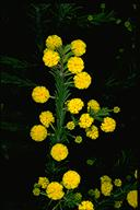 Acacia gordonii - click for larger image