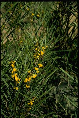 APII jpeg image of Acacia latzii  © contact APII