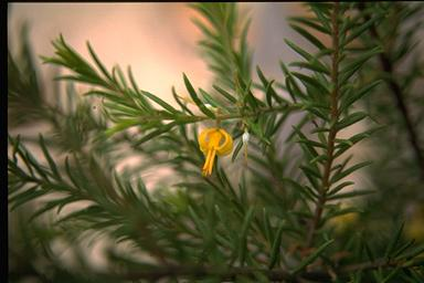 APII jpeg image of Persoonia acerosa  © contact APII