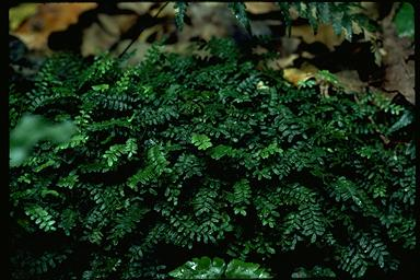 APII jpeg image of Arthropteris beckleri  © contact APII