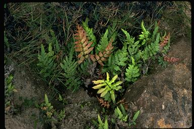 APII jpeg image of Blechnum ambiguum  © contact APII