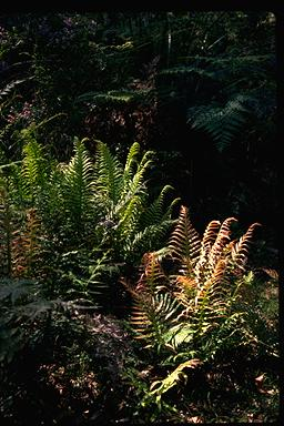 APII jpeg image of Blechnum cartilagineum  © contact APII