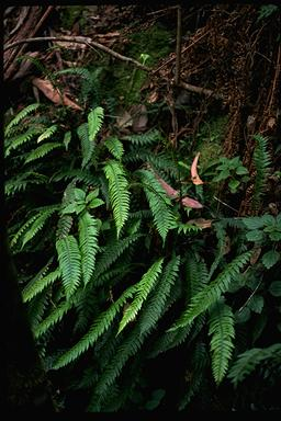 APII jpeg image of Blechnum chambersii  © contact APII