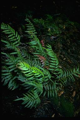 APII jpeg image of Blechnum gregsonii  © contact APII