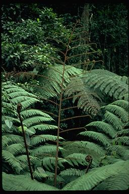 APII jpeg image of Cyathea celebica  © contact APII