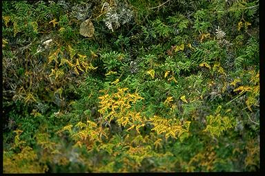 APII jpeg image of Gleichenia alpina  © contact APII
