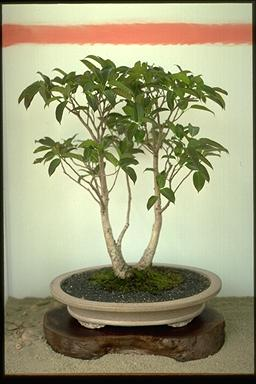 APII jpeg image of Ficus virens  © contact APII