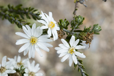 APII jpeg image of Olearia pimeleoides  © contact APII