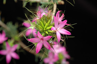 APII jpeg image of Calytrix decandra  © contact APII