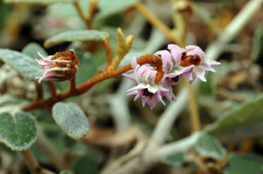 APII jpeg image of Lasiopetalum discolor  © contact APII