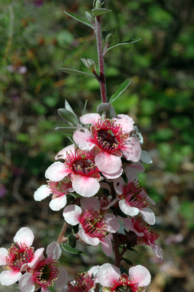 APII jpeg image of Leptospermum 'Mesmer Eyes'  © contact APII