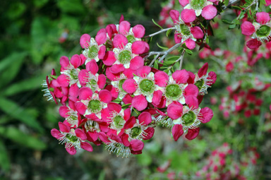 APII jpeg image of Leptospermum 'Outrageous'  © contact APII