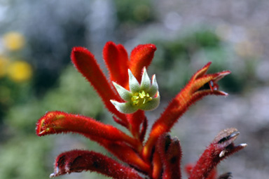APII jpeg image of Anigozanthos 'Federation Flame'  © contact APII