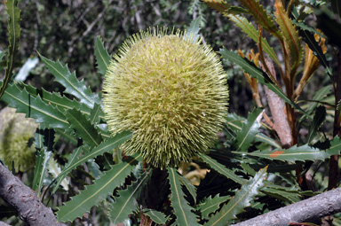 APII jpeg image of Banksia sceptrum  © contact APII