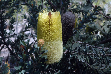 APII jpeg image of Banksia 'High Noon'  © contact APII