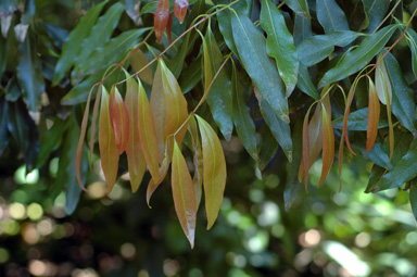 APII jpeg image of Cinnamomum oliveri  © contact APII