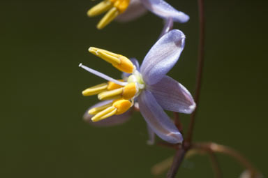 APII jpeg image of Dianella  © contact APII