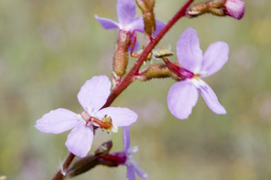 APII jpeg image of Stylidium graminifolium  © contact APII