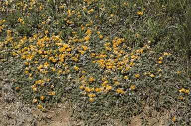 APII jpeg image of Pultenaea polifolia  © contact APII