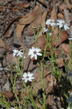 APII jpeg image of Olearia muricata  © contact APII