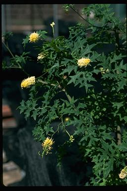 APII jpeg image of Grevillea flexuosa  © contact APII