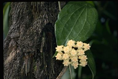 APII jpeg image of Hoya pottsii  © contact APII