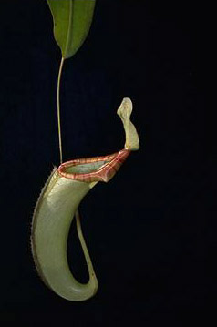 APII jpeg image of Nepenthes  © contact APII
