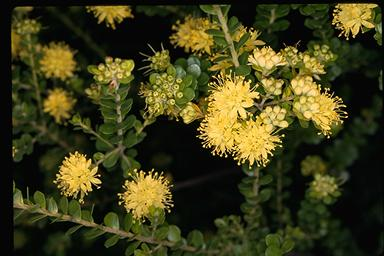 APII jpeg image of Leionema rotundifolium  © contact APII