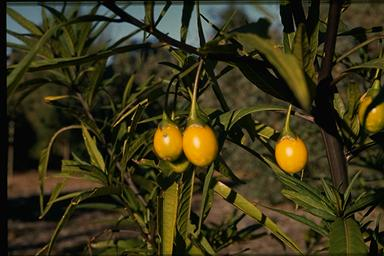 APII jpeg image of Solanum laciniatum  © contact APII
