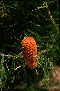 APII jpeg image of Banksia leptophylla  © contact APII