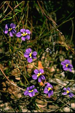 APII jpeg image of Dampiera caerulea  © contact APII