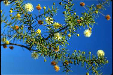 APII jpeg image of Acacia ulicifolia  © contact APII