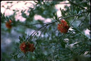 APII jpeg image of Melaleuca steedmanii  © contact APII