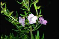 Prostanthera phylicifolia - click for larger image