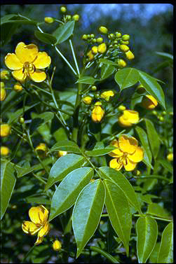 APII jpeg image of Senna septemtrionalis  © contact APII